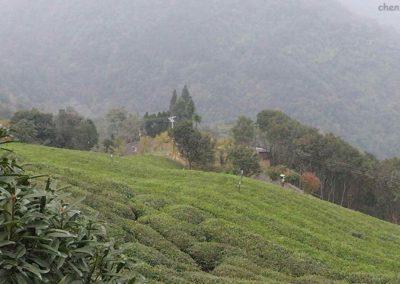 plantatie ceai wudangshan chen-taichi oradea2